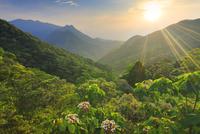 ヤマギリの花咲く新緑の原生林と船行前岳と明星岳と朝日