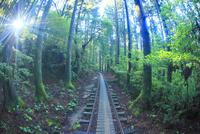 トロッコ道と屋久杉の林と朝日の木もれ日の光芒 10247009093| 写真素材・ストックフォト・画像・イラスト素材|アマナイメージズ