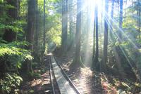 トロッコ道と屋久杉の林と朝の木もれ日と朝霧の光芒