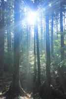 屋久杉の林と朝の木もれ日と朝霧の光芒