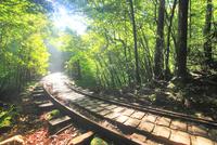 トロッコ道と新緑の原生林と木もれ日