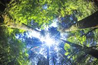 屋久杉の林と木もれ日