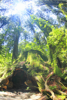 新緑のウィルソン株と木もれ日 10247009130| 写真素材・ストックフォト・画像・イラスト素材|アマナイメージズ