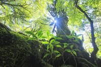 屋久杉の巨木と木もれ日 10247009137| 写真素材・ストックフォト・画像・イラスト素材|アマナイメージズ