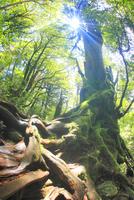 屋久杉の巨木と木もれ日と根