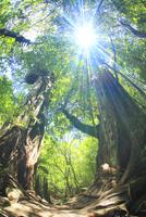 屋久杉の巨木と木もれ日
