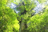新緑と大王杉