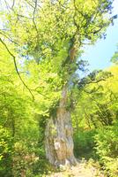 縄文杉と新緑