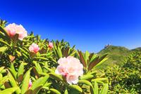 ヤクシマシャクナゲの花と安房岳 10247009207| 写真素材・ストックフォト・画像・イラスト素材|アマナイメージズ