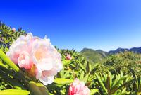 ヤクシマシャクナゲの花と安房岳と黒味岳 10247009211| 写真素材・ストックフォト・画像・イラスト素材|アマナイメージズ