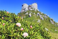 ヤクシマシャクナゲの花と翁岳