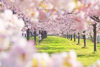 八重桜の桜並木 10247010747| 写真素材・ストックフォト・画像・イラスト素材|アマナイメージズ