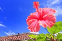 ハイビスカスと旧花城家のシーサーと琉球赤瓦の屋根