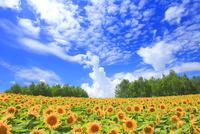 ヒマワリ畑とうろこ雲