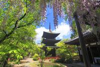 信濃国分寺の三重塔と藤