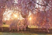 ヤエベニシダレとふたつの朝日の木もれ日