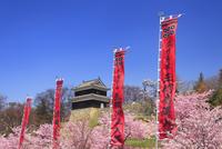 上田城の西櫓と桜と真田十勇士の幟