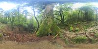 屋久杉の森のVRパノラマ 10247019803| 写真素材・ストックフォト・画像・イラスト素材|アマナイメージズ