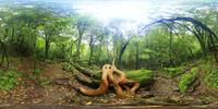 ヒメシャラの根と原生林のVRパノラマ