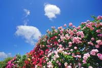 カクテルなど咲くバラ園とわた雲
