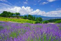 ラベンダー畑と信州国際音楽村 10247020853| 写真素材・ストックフォト・画像・イラスト素材|アマナイメージズ