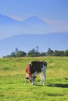 ジャージー牛と富士山