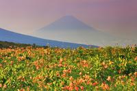 朝のニッコウキスゲと富士山