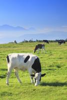 ホルスタインとジャージー牛と富士山