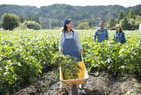 畑で枝豆を収穫する娘と両親