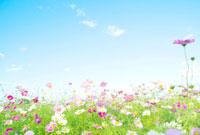 秋空とコスモス 10250004272| 写真素材・ストックフォト・画像・イラスト素材|アマナイメージズ