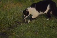 ネズミを捕えた野良猫