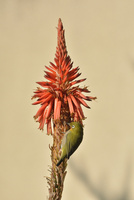 アロエの花とメジロ