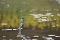 カワセミ 10252014270| 写真素材・ストックフォト・画像・イラスト素材|アマナイメージズ