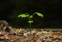イチョウの発芽 10252014358| 写真素材・ストックフォト・画像・イラスト素材|アマナイメージズ