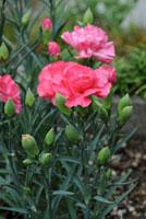 カーネションの花