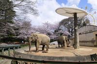 桜の王子動物園象さん