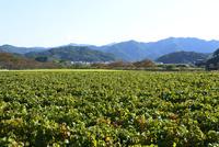黒豆栽培 10254011364| 写真素材・ストックフォト・画像・イラスト素材|アマナイメージズ