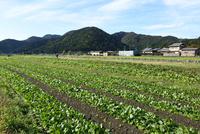 京都,大原の里野菜畑 10254011766| 写真素材・ストックフォト・画像・イラスト素材|アマナイメージズ