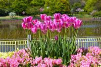 長居植物園 チューリップ花壇 10254013843| 写真素材・ストックフォト・画像・イラスト素材|アマナイメージズ
