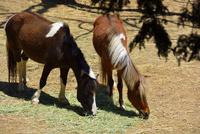 新緑 六甲山牧場 馬が仲良くエサを食べている