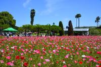 長居植物園,ポピー 10254014413  写真素材・ストックフォト・画像・イラスト素材 アマナイメージズ