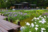 城北菖蒲園,花菖蒲 10254014518| 写真素材・ストックフォト・画像・イラスト素材|アマナイメージズ