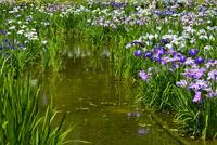 城北菖蒲園,花菖蒲 10254014521| 写真素材・ストックフォト・画像・イラスト素材|アマナイメージズ