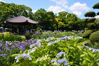 城北菖蒲園,花菖蒲 10254014530| 写真素材・ストックフォト・画像・イラスト素材|アマナイメージズ