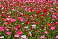 長居植物園,ポピー 10254014569| 写真素材・ストックフォト・画像・イラスト素材|アマナイメージズ