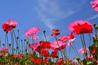 長居植物園,ポピー 10254014575| 写真素材・ストックフォト・画像・イラスト素材|アマナイメージズ