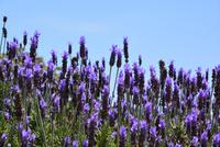 長居植物園,ラベンダー 10254014576| 写真素材・ストックフォト・画像・イラスト素材|アマナイメージズ