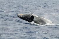 背面から着水するクジラ