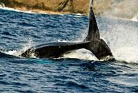 小笠原諸島 ザトウクジラのペダングルスラップ 10255001123| 写真素材・ストックフォト・画像・イラスト素材|アマナイメージズ