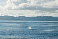 小笠原諸島 凪いだ海とマッコウクジラのブロー